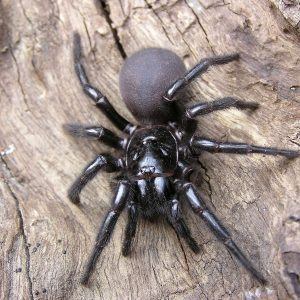 funnel-web-spider-control