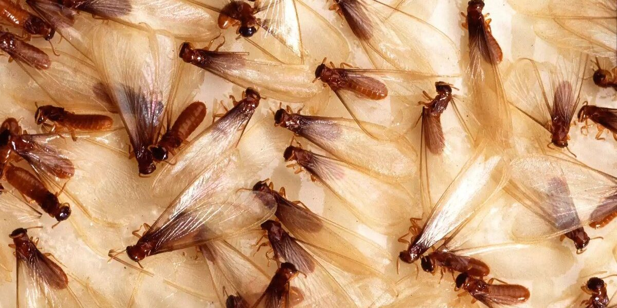 6 Important Questions About Flying Termites In Sydney