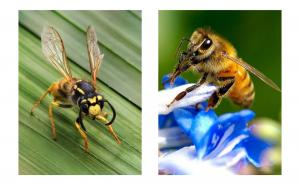 bees vs wasp