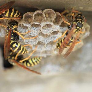 wasp control sydney