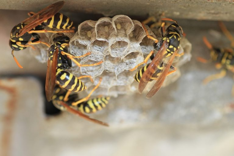 wasp control & wasp nest removal sydney